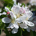 Blossom of cider apple 'Brown's Apple', early May.