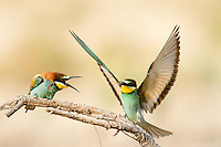 European bee eaters