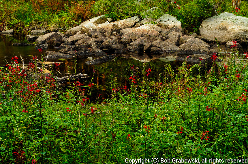 Cardinal flowers, Lobelia cardinalis, blooming in August at Stewart Creek in the Adirondack Forest Preserve in New York State