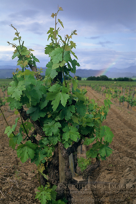 Rainbow over vineyard in spring, Westside Road, near Healdsburg, Sonoma County, California