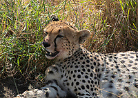 Cheetah, Acinonyx jubatus jubatus, rests in a small patch of shade after killing a Thomson's Gazelle, Eudorcas thomsonii, in Serengeti National Park, Tanzania