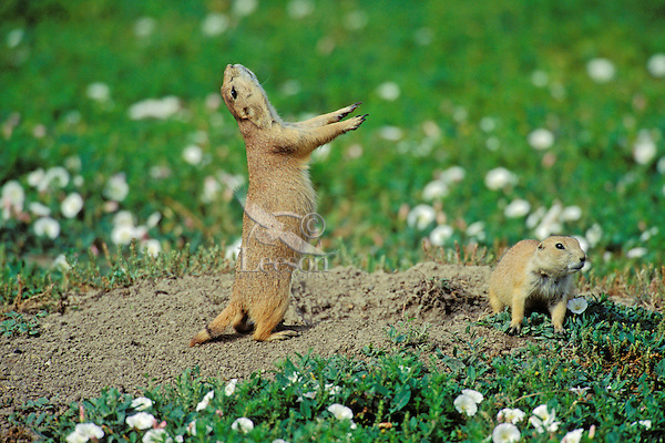 """Black-tailed Prairie Dog (Cynomys ludovicianus) signaling (some experts believe this is an """"all clear"""" or """"I'm OK"""" signal)."""