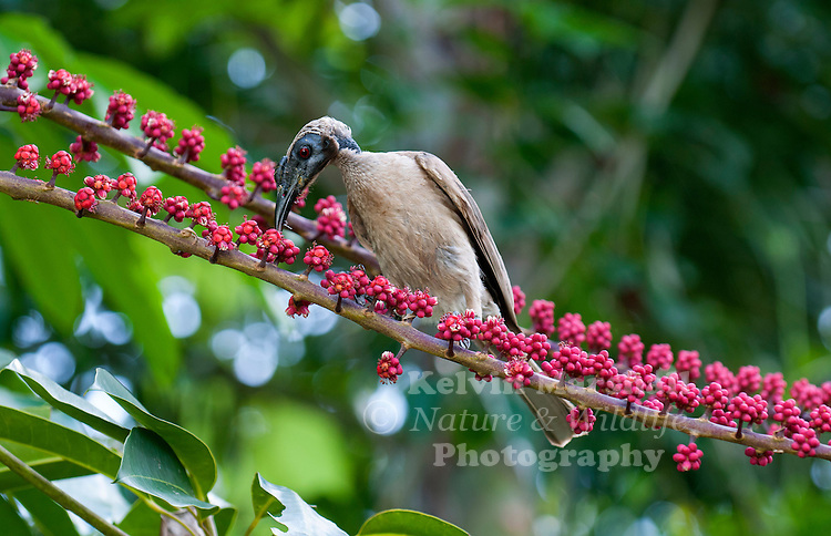 The Helmeted Friarbird (Philemon buceroides ) feeding on Umbrella Tree. This species of bird in the Meliphagidae family, It is found in Indonesia and northern Australia. Its natural habitats are subtropical or tropical dry forests, subtropical or tropical moist lowland forests, and subtropical or tropical mangrove forests. Cairns Far - North Queensland.