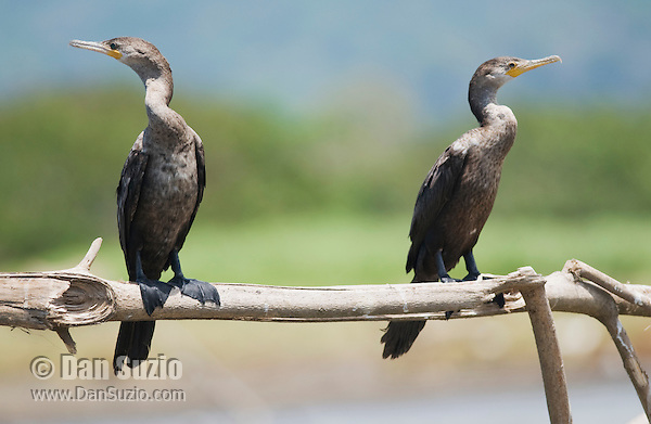Olivaceous (Neotropical) cormorant, Phalacrocorax olivaceus. Tarcoles River, Costa Rica.
