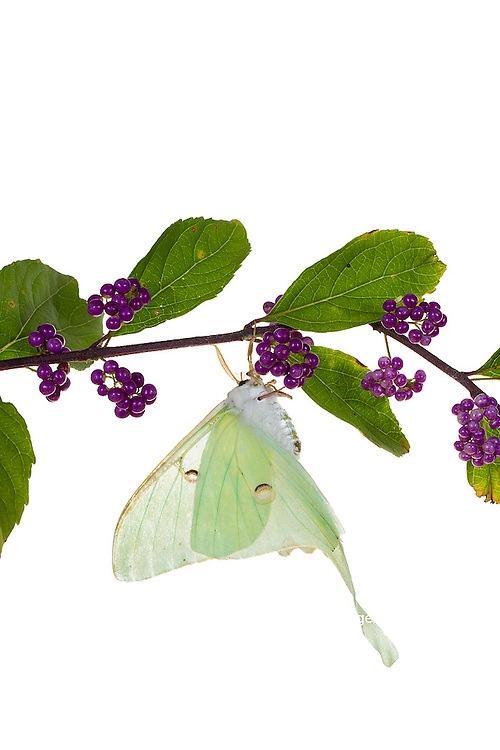 30040-00110 Luna Moth (Actias luna) on American Beautyberry (Callicarpa americana) on white background, Marion Co., IL