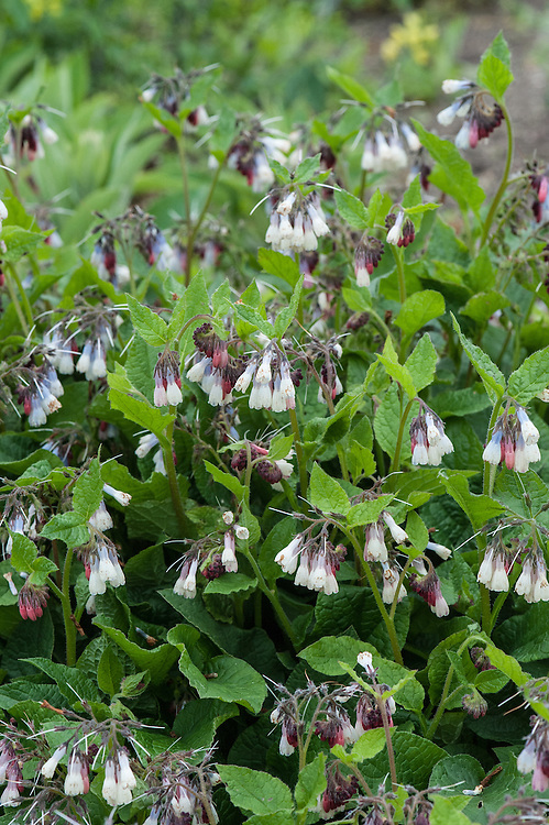 Symphytum ibericum, early May. A perennial with pale creamy white flowers opening from red buds in late spring. Native to the Caucasus and northeastern Turkey, and commonly known as Iberian comfrey.