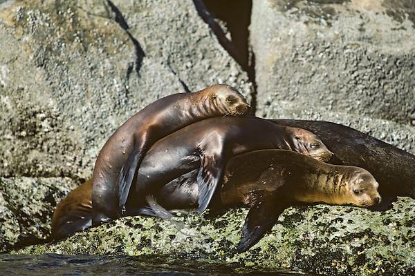 California Sea Lions (Zalophus californianus) resting.  West Coast, Pacific Ocean shoreline.