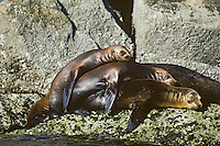 California Sea Lions (Zalophus californianus) resting.  West Coast, Pacific Ocean shoreline.