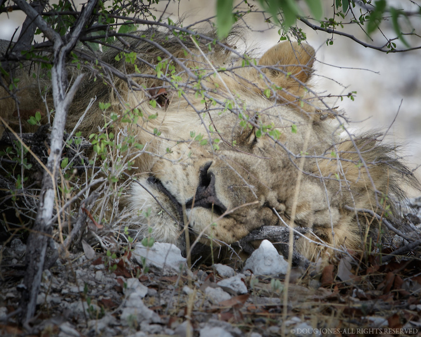 We almost missed this snoozing lion curled up  under a tree just a few feet from the road.