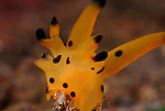 Thecacera-Dorid Nudibranch, sp1, Underwater macro marine life images;  Photographed in Tulamben; Liberty Resort; Indonesia.Underwater Macro Photographer on FB 2nd Annual event