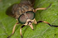 Rinder-Bremse, Rinderbremse, Rinder - Bremse, Tabanus bovinus, mit stechenden Mundwerkzeugen, Mundwerkzeuge und Facettenauge, large horsefly