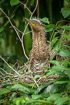 Bare throated tiger heron stretching his neck watching for predators
