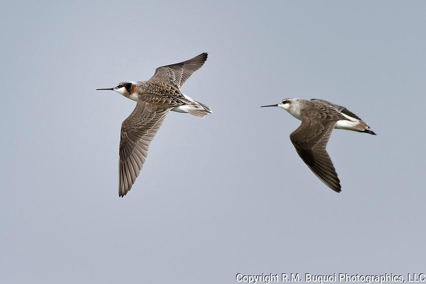 Pair of wilson's Phalarope in flight