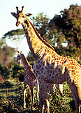 BOTSWANA, Africa, a giraffe and calf, Chobe National Park and Game Reserve