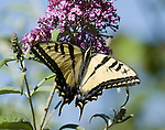 Western Tiger Swallowtail Butterfly.Pterourus rutulus .June 6, 2008. © Fitzroy Barrett