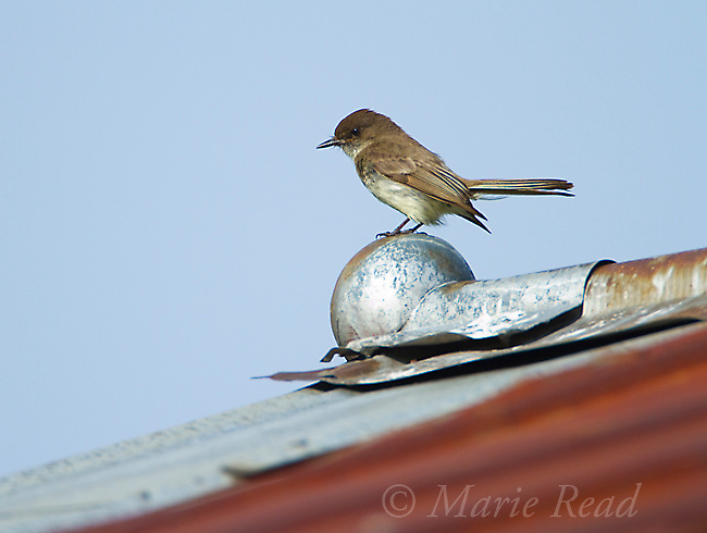 Eastern Phoebe (Sayornis phoebe) perched on barn roof, New York, USA