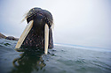 An Atlantic walrus shows off his impressive tusks off the coast of Lagoya Island, Nordaustlandet, Svalbard.