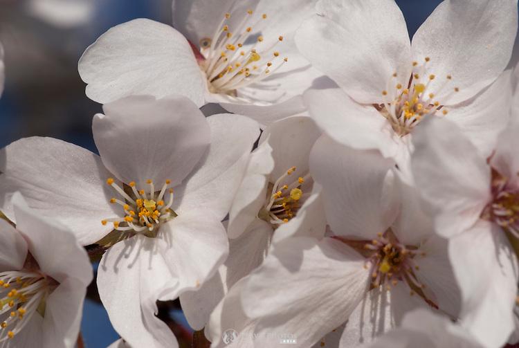 Japanese cherry blossoms (sakura) flowering in early April.