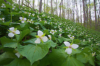Large-flowered Trillium, wildflowers in bloom, Shenk's Ferry Wildflower Preserve, Pennsylvania
