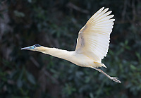 We encountered numerous egret and heron species in both the Amazon and the Pantanal.