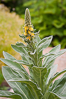 Mullein (Verbascum thapsus) medicinal gray foliage herb with yellow flowers in garden