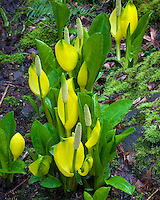 Vashon Island, Washington<br /> Westenrn skunk cabbabe (Lysichiton americanus) or swamp lantern - small group in wetland setting