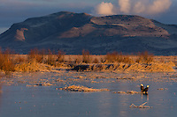 Bald Eagles (Haliaeetus leucocephalus) sitting on frozen wetland marsh at Klamath Basin National Wildlife Refuge (Lower Klamath NWR) on the Oregon-California Border.  February. Early morning.