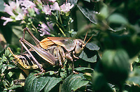 Balkan-Bergschrecke, Männchen, Psorodonotus illyricus, Psorodonotus fieberi, bush cricket, bush-cricket, male