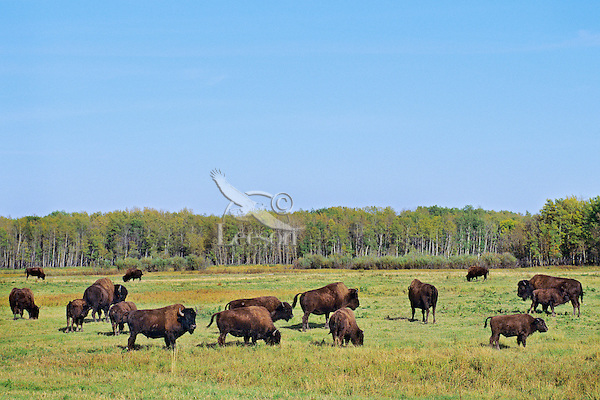 Wood Bison at Elk Island National Park (south of highway 16), Alberta.  Sept.