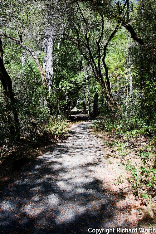 Part of the treelined and sun-dappled path to the viewing platforms at the Darlingtonia Trail.