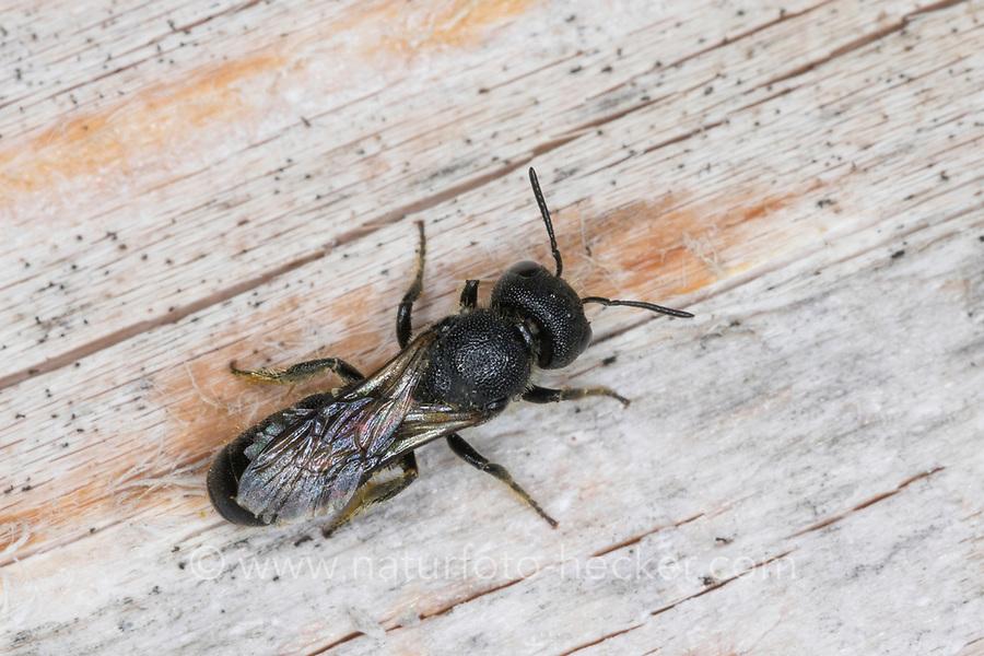 Löcherbiene, Gemeine Löcherbiene, Gewöhnliche Löcherbiene, Löcherbienen, an einer Insekten-Nisthilfe, Heriades truncorum, Osmia truncorum, Large-headed Resin-Bee, Ridge-Saddled Carpenter-Bee