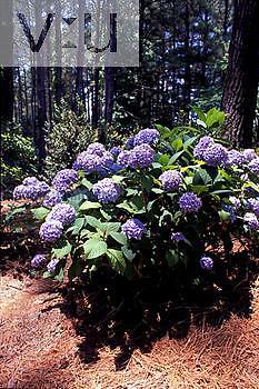 Blue Hydrangea bush.
