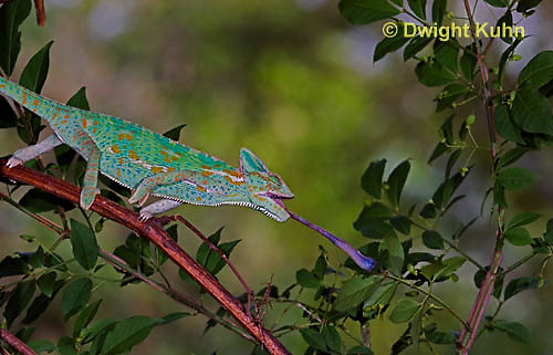 CH38-616z Female Veiled Chameleon tongue flicking to catch insect prey, Chamaeleo calyptratus, for sequence see CH38-514z