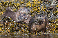 River otters are not confined to fresh water and will swim in the ocean to look for food.