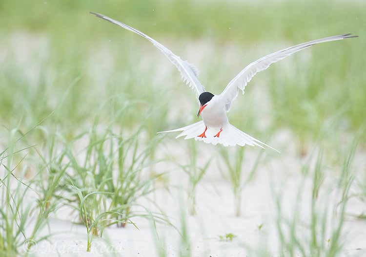 Common Tern (Sterna hirundo), adult in breeding plumage, flying in to land in breeding colony, Nickerson Beach, Long Island, New York, USA. (Space added at top)