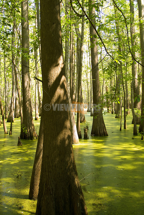 Cypress Tree swamp, Southern United States
