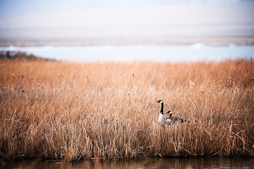 Two Canada geese rest in cattails at Freezout Lake Wildlife Management Area near Fairfield, Montana.