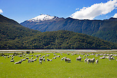 Sheep graze the Makaroa River flats between Wanak & Haast, Queenstown Lakes District, Otago, South Island, New Zealand.