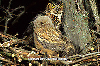 01116-017.02 Great Horned Owls (Bubo virginianus) at nest;nightime-approx. 4 weeks old with adult   IL