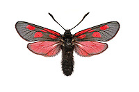 Scotch Burnet - Zygaena exulans<br /> 54.006 BF166