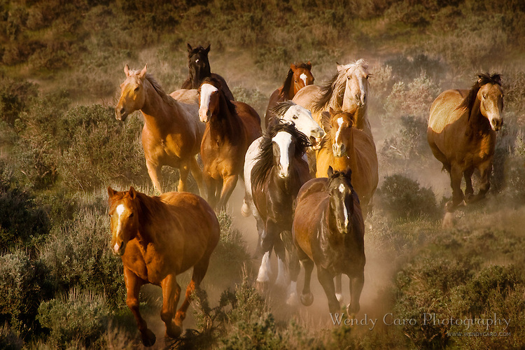 Horses getting too close to each other, as herd gallops through sagebrush and juniper