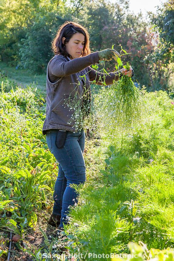 Woman farmer harvesting cut flowers; No-till flower farming, Singing Frogs Farm
