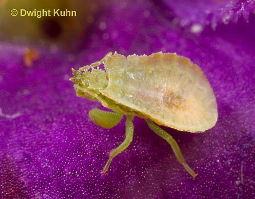 AM09-561z  Ambush Bug nymph several days old, Phymata americana