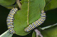 MO02-500z  Monarch caterpillar - Danaus plexipuss