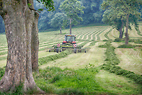 Rowing mowed grass in a field ready to be picked up by a forage wagon, Grimsargh, Preston, Lancashire.