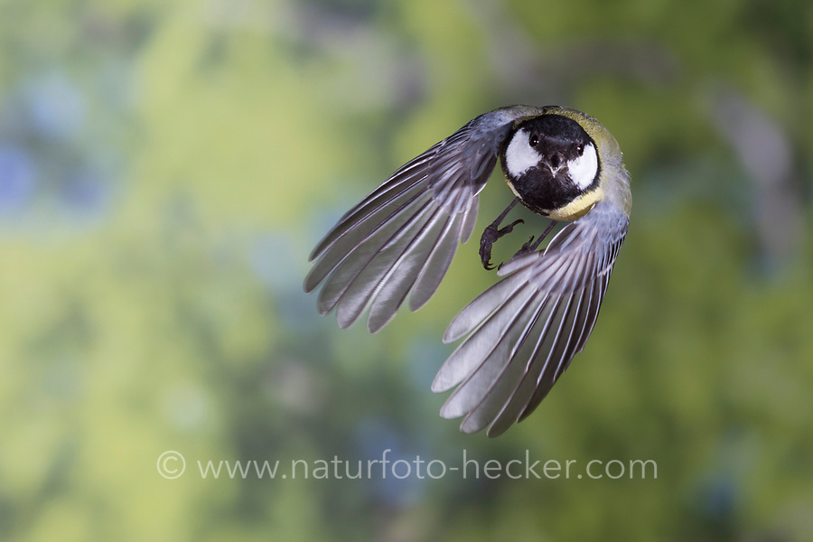 Kohlmeise, Flug, Flugbild, fliegend, Kohl-Meise, Meise, Meisen, Parus major, Great tit, flight, flying, La Mésange charbonnière