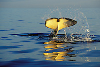 "Orca Whale or Killer Whale (Orcinus orca) ""tail slapping""--common behavior.  Pacific Northwest."