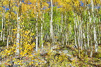 Fall Aspens, Colorado