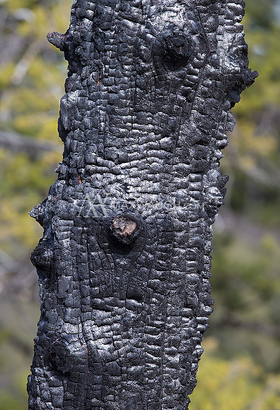 Evidence of past wildfires can be seen everywhere throughout the park.