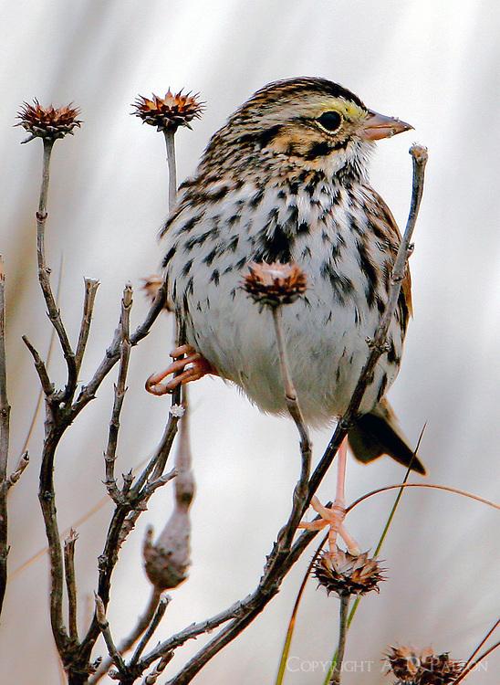 Adult savannah sparrow eating weed seeds